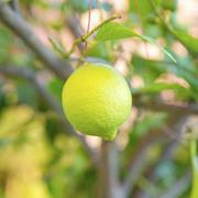 Organic lemon tree Stock Photos