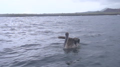 Pelican stretching his wings in slow motion at san Cristobal Stock Footage