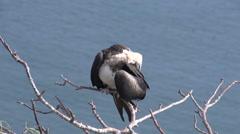 Female frigate bird at the Galapagos Islands, Ecuador Stock Footage