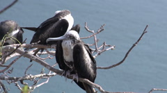 Stock Video Footage of Female frigate birds at the Galapagos Islands, Ecuador