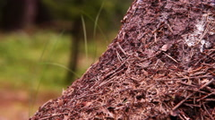 Teamwork footage: Ants colony in the forest Stock Footage