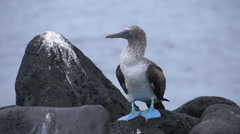 Blue footed booby at the rocks in San Cristobal, Galapagos Islands Stock Footage