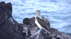 Blue footed booby flying away in slow motion, Galapagos Islands, Ecuador Stock Footage
