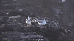 Two swallow-tailed gulls flaying away in slow motion - stock footage