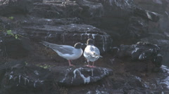 Two swallow-tailed gulls at the rocks at the Galapagos Islands, Ecuador Stock Footage