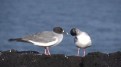 Two swallow-tailed gulls at the rocks at the Galapagos Islands, Ecuador - stock footage