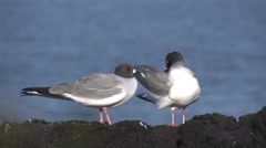 Two swallow-tailed gulls at the rocks at the Galapagos Islands Stock Footage