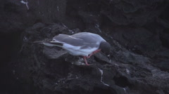 Two swallow-tailed gulls moving his feet in slow motion Stock Footage