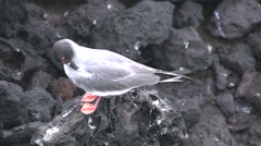 The swallow-tailed gull at the rocks at the Galapagos Islands, Ecuador Stock Footage