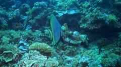 Boer's batfish - Platax Stock Footage