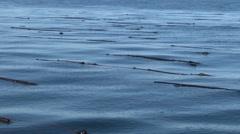Kelp. Bull Kelp, Seaweed, Bullwhip, 4K, UHD Stock Footage