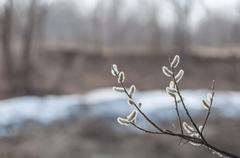 willow twigs blurred background - stock photo