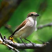 Red-backed shrike in the foliage of a tree. female. Stock Photos
