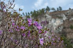 magenta flowers shrub - stock photo