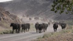 1169 - cowboys work on western cattle drive Stock Footage