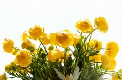 flowers globe-flower close up - stock photo