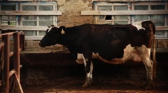 Black and White Cow Stock Footage