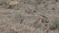 Warthog Family On The Move Gfhd Stock Footage