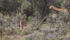 Giraffe Adult With Young Walking In Savanna, Masai Mara, Kenya - stock footage