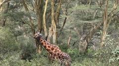 Giraffe Eating Leaves Stock Footage