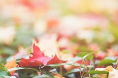 Stock Photo of autumn maple leaves on green hedge