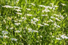 white flowers meadow chickweed - stock photo