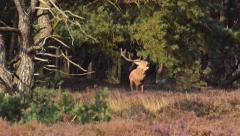 Red Deer stag bellowing Stock Footage