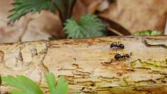 Ants running along the trunk, filmed with slider Stock Footage