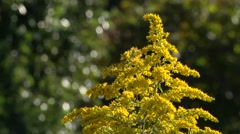 Goldenrod Close-up Growing Wild Autumn Day As Bees Gather Pollen Stock Footage