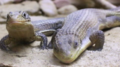 a couple of lizards - stock footage