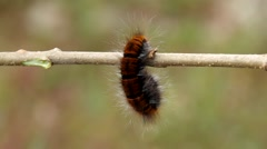 Big hairy caterpillar on the branch Stock Footage