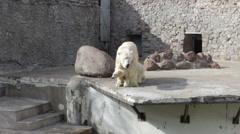 Polar bear with a cub Stock Footage