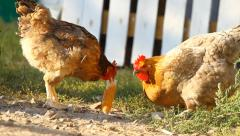 Chickens peck a corn in a village Stock Footage