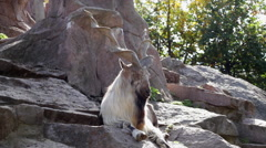 A markhor male, lying on rocky background. Majestic mountain goat. Stock Footage