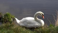 Wildlife Bird Swan Preening Feathers Nature Background Arkistovideo