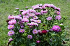 sunlit fine asters in the flowerbed - stock photo