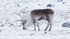 Wild reindeer feeding in Arctic tundra - Spitsbergen, Svalbard - stock footage