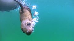 Australian Fur Seals Stock Footage