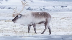 Wild reindeer in natural Arctic environment Stock Footage