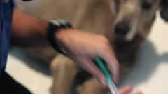 vet treats dog syringe close up - stock footage