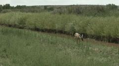 Doe mule deer peeing Stock Footage