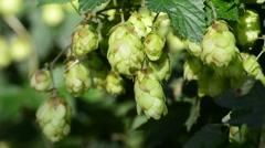 Hop, ripe cones Stock Footage