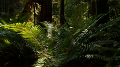 Rain Forest, Olympic National Park, Temperate, Moss, Ferns, 4K, UHD - stock footage