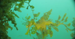 Leafy Sea Dragon Stock Footage