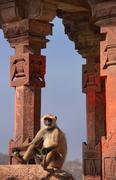 Gray langur (semnopithecus dussumieri) sitting at ranthambore fort, india Stock Photos