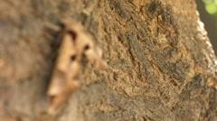 Achemon sphinx moth focus pull Stock Footage