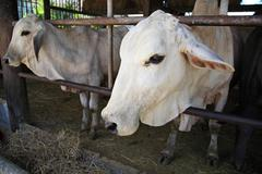 cows in stable of thai temple - stock photo