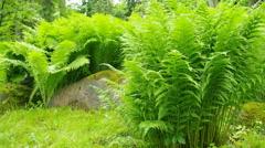 Beautiful green ferns. Stock Footage