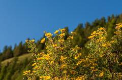Shrub flowers yellow Stock Photos