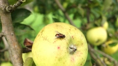 Glittery fly on yellow apple Stock Footage